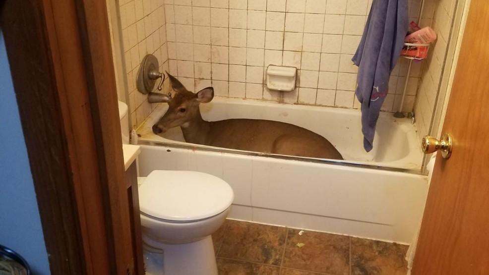 A Deer breaks into Home; Won't Leave Bathtub yet
